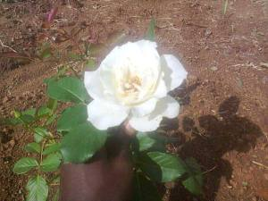 A beautiful pascali 'hybrid tea' from our rose garden. Sooo peaceful and beautiful like YOU ;)